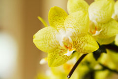 красивейшая орхидея цветков Стоковые Изображения