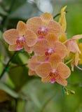 красивейшая орхидея Стоковое Изображение