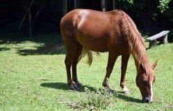 красивейшая лошадь травы еды Стоковое Изображение RF