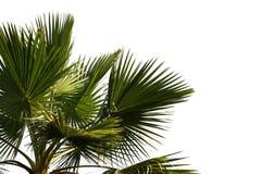 красивейшая пальма Стоковое Изображение