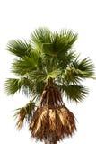 красивейшая пальма Стоковые Изображения