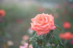 Красивейшая предпосылка помеец цветка поднял Стоковые Изображения