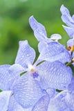 Красивейшая пурпуровая орхидея Стоковое Фото