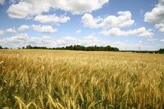 красивейшая пшеница взгляда фермы стоковое фото