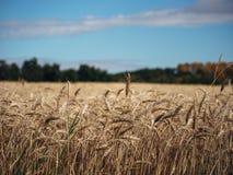 красивейшая пшеница поля Стоковая Фотография