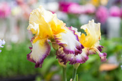 красивейшая радужка цветков Стоковые Фото