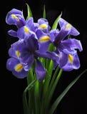 красивейшая радужка цветков Стоковое Фото