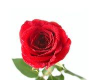 Красивейшая роза красного цвета Стоковое Фото