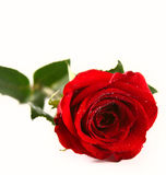 Красивейшая роза красного цвета Стоковая Фотография