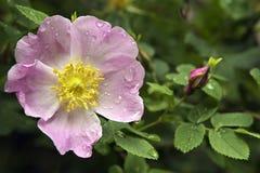 красивейшая роза лепестков цветка влажная Стоковое Изображение RF