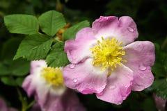 красивейшая роза лепестков цветка влажная Стоковые Изображения
