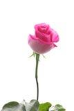 Красивейшая роза пинка стоковое изображение rf
