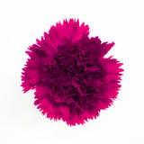 Красивейшая розовая гвоздика стоковые фотографии rf