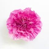 Красивейшая розовая гвоздика стоковые изображения rf