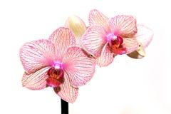 Красивейшая розовая и белая орхидея Стоковые Изображения