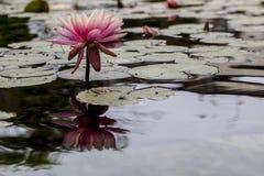 Красивейшая розовая лилия Стоковое Изображение
