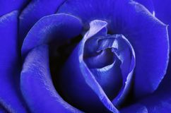 красивейшая синь подняла Стоковое Изображение RF