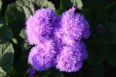 красивейшая сирень цветка Стоковое Фото