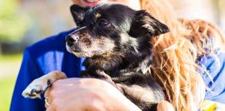 Красивейшая собака чихуахуа Стоковое Изображение