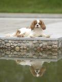 красивейшая собака Стоковая Фотография