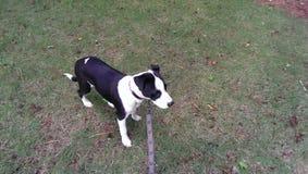 красивейшая собака Стоковое Изображение