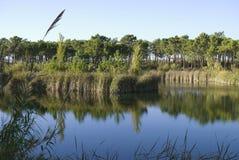 красивейшая сосенка озера пущи Стоковые Изображения