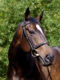 Красивейшая съемка головки лошади залива Стоковые Изображения
