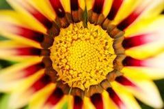 красивейшая хризантема Стоковые Изображения