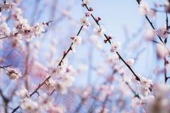 Красивейшая цветя японская вишня - Сакура Стоковые Фотографии RF