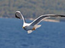 красивейшая чайка стоковая фотография