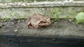 красивейшая лягушка Стоковые Изображения RF