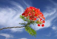 красивейшая ясность цветет gulmohar небо стоковое изображение rf