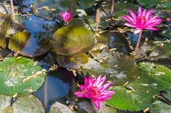красивейшая lilly вода Стоковое Фото
