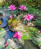 красивейшая lilly вода Стоковое Изображение RF