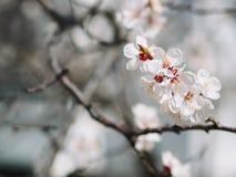 красивейшее весеннее время желтый цвет акварели стародедовской предпосылки темный бумажный Зацветая ветви дерева с белыми цветкам Стоковые Изображения