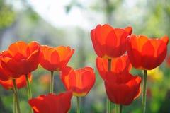 Красивейшее время поля тюльпанов весной Стоковая Фотография RF