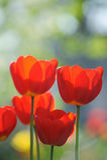 Красивейшее время поля тюльпанов весной Стоковые Изображения