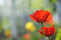 Красивейшее время тюльпанов весной Стоковое Изображение