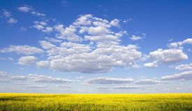 красивейшее голубое ясное небо рапса поля стоковая фотография rf