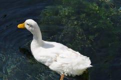 красивейшее заплывание утки стоковые фотографии rf