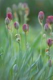 Красивейшее зацветая поле тюльпанов Стоковое Изображение