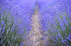 Красивейшее изображение поля лаванды стоковое фото