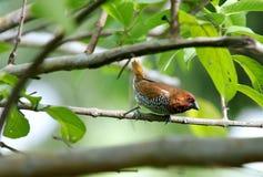 Красивейшее коричневое Чешуистое-breasted Munia Стоковые Фото