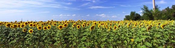 Красивейшее поле солнцецвета стоковые фото
