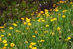 красивейшее поле одуванчика цветет весна Стоковая Фотография