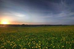 красивейшее поле одуванчика цветет весна Стоковые Фото