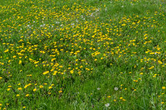 красивейшее поле одуванчика цветет весна Стоковые Изображения