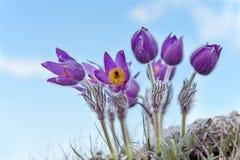 красивейшее сновидение цветет пурпур травы Стоковые Изображения