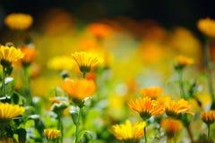 Красивейшее травяное время поля calendula весной Стоковое Изображение RF