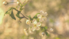 Красивейшее цветение вишни Стоковое Фото